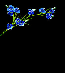 Me-nots flowers isolated on black background