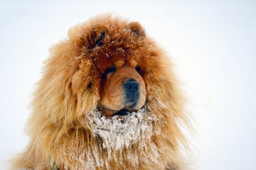 Chow Chow Dog Dina on white snow