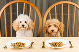 Two uninterested Poodle puppy with plate of kibbles on table poster