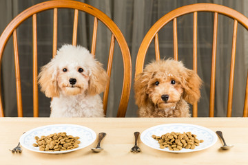 Two uninterested Poodle puppy with plate of kibbles on table