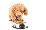 Poodle puppy approaching a bowl of kibbles  poster