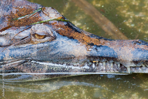 Foto op Plexiglas Krokodil crocodile close up