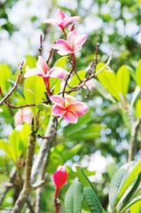 Flowers  pink frangipani (lat.Plumeria)