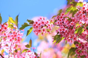 pink cherry flowers blossom