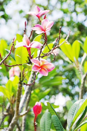 In de dag Frangipani Flowers pink frangipani (lat.Plumeria)