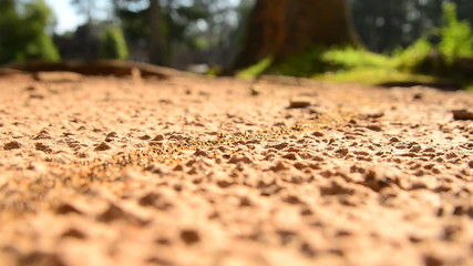 Giant Ant Colony on the March in the Jungle