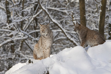 two lynx