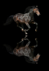 Galloping dark horse on black background with reflection