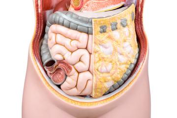 Artificial model of human bowels or intestines