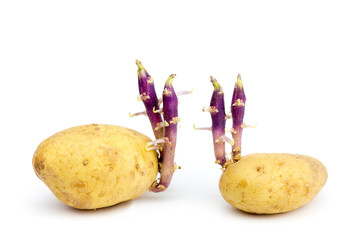 Two potatoes with hairy stems isolated on white background