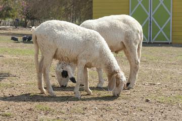 Tow white sheep in the farm