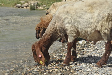 Spent sheep from pasture. Back to the bait. Wool animals