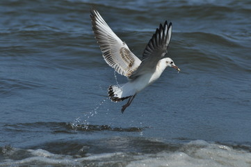 Seagull flying, searching for food over the waves. Baltic Sea