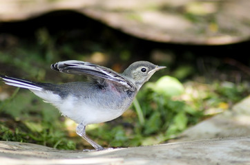 White Wagtail chick trying to fly