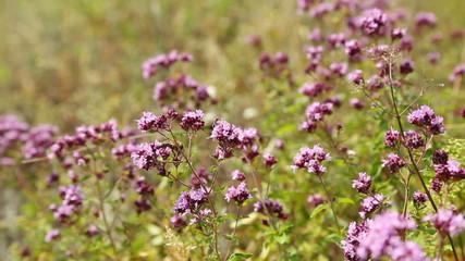 Oregano flowers and bee closeup (origanum vulgare)
