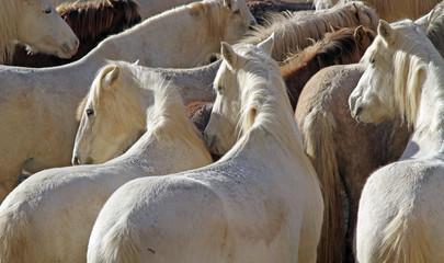Beaux chevaux camarguais