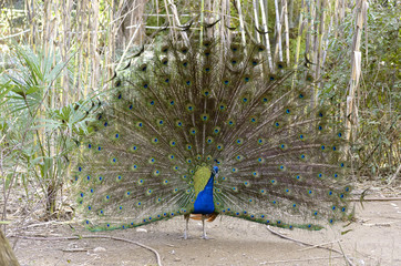 Beautiful blue peafowl