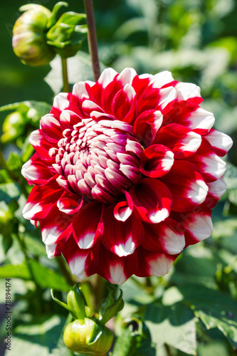 Fotobehang Dahlia Decorative Red White Dahlia