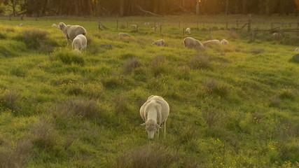 Sheep at Sunset