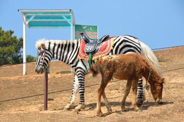 Вьетнам, Лангбианг, лошадь, раскрашенная под зебру