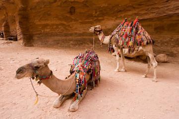 Dromedary in Petra Jordan