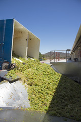 Grapes Sauvignon Blance variety arriving at a winery