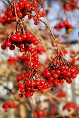 Bunch of ripe red viburnum close up