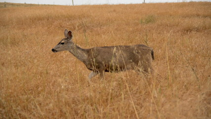 Deer in Point Reyes National Park California