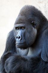 Gorilla schaut nachdenklich
