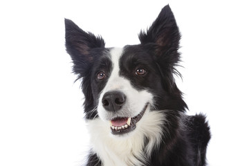 portrait chien border Collie