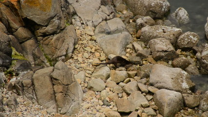 Otter Playing on the Rocks - Point Reyes