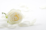 Fototapety White rose with petals close-up