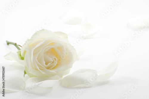 Staande foto Bloemenwinkel White rose with petals close-up