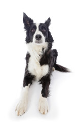 portrait chien border Collie