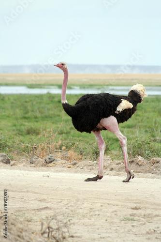 Staande foto Struisvogel Autruche qui traverse la route