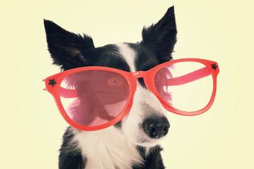 chien border Collie avec lunettes rouges