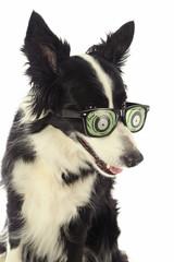 chien border Collie avec lunettes zombies