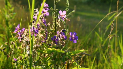 purple wild flowers close up in the light of the setting sun