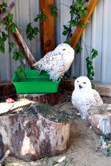 Snowy Owls in the open air at the zoo in Ukraine