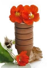 fleurs de capucine dans petits pots