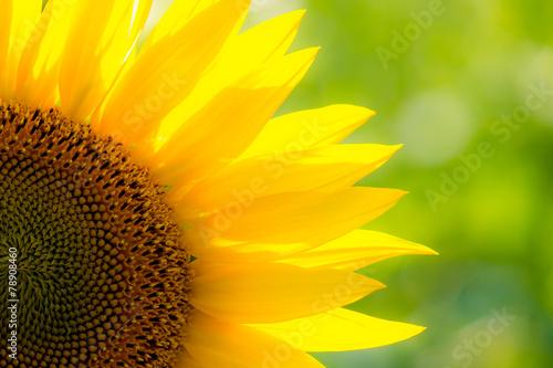 Fotobehang Zonnebloem Sunflower