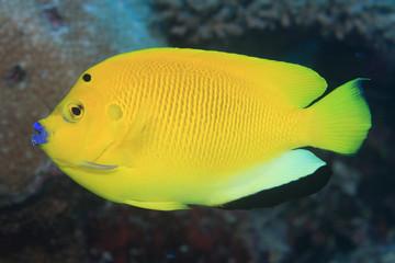 Treespot angelfish (Apolemichthys trimaculatus)