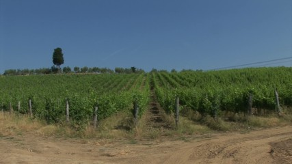 Vineyard in Tuscan countryside with a cypress
