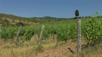 Tuscan countryside, vineyard with a cypress