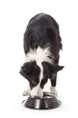 chien border Collie mangeant