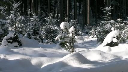 Fichten Wald