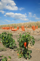 Agriculture, red paprika plant in field and bags of onion