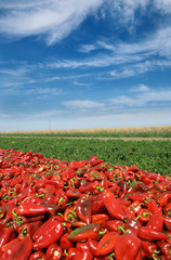 Agriculture, heap of red paprika after harvest in field