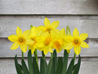 yellow daffodil flowers with old grey wooden wall