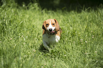 dog running in the long grass